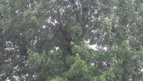 Strong rain falling on tree, strong windy, weather. Strong rain falling on tree stock footage