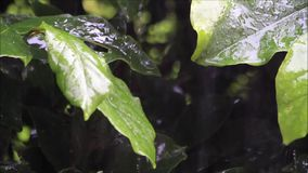 Strong rain on green leaf. Strong rain falling on green leaf stock video