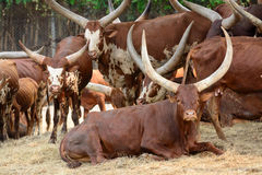 Strong red brown bull ox Royalty Free Stock Photo
