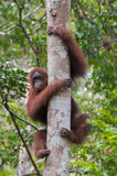 Strong red orangutan grabbed hands and feet thick tree on a back. Ground of a tropical forest (Kumai, Indonesia royalty free stock images