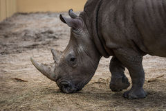 Strong rhino Royalty Free Stock Image