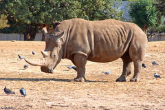 Strong rhinoceros. Very big rhinoceros in the walking summer day Royalty Free Stock Image