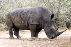 Strong rihino Stock Photography