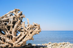 Strong root. Dry root of  the tree on the seashore Stock Photos