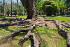 Strong root tree on a green lawn Stock Images