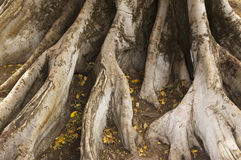Strong Roots. Details of large thick roots of a very old big tree Stock Photo