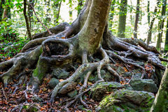 Strong roots from a beech tree in the forest Stock Images