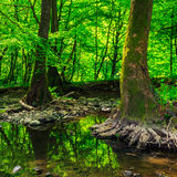 Strong roots in creek Stock Image