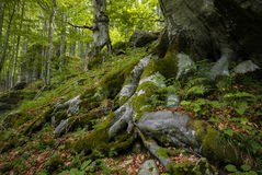Strong roots. Old beech trees with strong roots in a freshly green summer forest Royalty Free Stock Photography