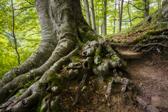 Strong roots. Old beech trees with strong roots in a freshly green summer forest Royalty Free Stock Photo