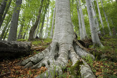 Strong roots. Old beech trees with strong roots in a freshly green summer forest Stock Images