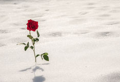 Strong rose in the snow Royalty Free Stock Image