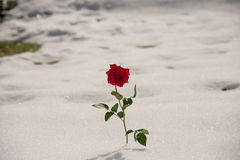 Strong rose in the snow Royalty Free Stock Photos