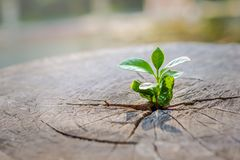 A strong seedling growing in the center trunk of cut stumps. tree ,Concept of support building a future focus on new stock photo