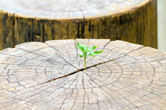 Strong seedling growing in the center trunk from a dead tree stu stock photography
