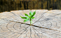 Strong seedling growing in the center trunk from a dead tree stu stock photo