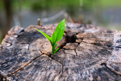 A strong seedling growing in the center trunk tree Stock Photography