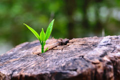 A strong seedling growing in the center trunk tree as a concept of support building a future. (focus on new life) Royalty Free Stock Photos