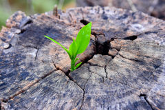 A strong seedling growing in the center trunk tree as a concept of support building a future. (focus on new life) Royalty Free Stock Images