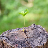 A strong seedling growing in the center trunk tree as a concept of support building a future. (focus on new life). A strong seedling growing in the center trunk Stock Photos