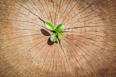 Strong seedling growing in the center trunk tree as a Concept of support building a future.. (focus on new life ). Top view strong seedling growing in the center Royalty Free Stock Images
