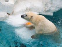 Strong smart polar bear Royalty Free Stock Images