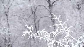 The strong snowfall in the forest. Branches covered with snow sway in the wind. 1 stock footage