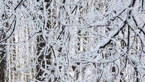 The strong snowfall in the forest. Branches covered with snow sway in the wind stock video