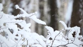 The strong snowfall in the forest. Branches covered with snow sway in the wind. 1 stock video footage