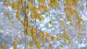 The strong snowfall in the forest. Branches and leaves sway in the wind. 1 stock footage