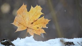 The strong snowfall in the forest, yellow leaf sway in the wind. 1 stock footage