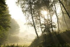Strong sun rays through tall branches Royalty Free Stock Photo