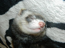 Strong and sweet dream ferret. Mysterious and cute animal - ferret home. Strong and sweet dream ferret Stock Images