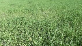 Strong thick grass stock footage