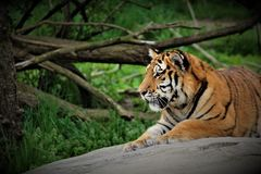 Mighty Tiger royalty free stock photo