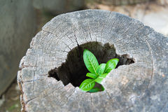 Strong trees grow up in the hollow of a tree stump. Royalty Free Stock Photography
