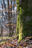 Strong trunk of a beech tree covered with moss Royalty Free Stock Photos