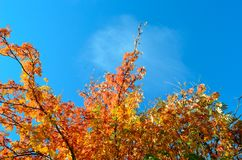 Strong vibrant colors on rowan tree. In late autumn Stock Photo