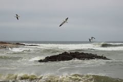 Strong waves on the coast of the Atlantic Ocean in Namibia and sea gulls soaring. Above the water royalty free stock images