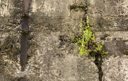 Strong weed. Lives in concrete stock photo