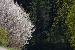 Appletree bloom in south germany. Strong white bloom on green fields on a sunny spring day in south germany countryside Stock Photography