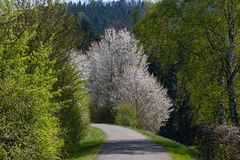 Appletree bloom in south germany. Strong white bloom on green fields on a sunny spring day in south germany countryside Royalty Free Stock Images