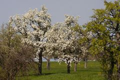 Appletree bloom in south germany. Strong white bloom on green fields on a sunny spring day in south germany countryside Royalty Free Stock Photography