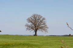 Appletree bloom in south germany. Strong white bloom on green fields on a sunny spring day in south germany countryside Royalty Free Stock Image