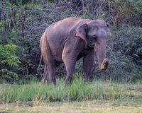 Huge single wild elephant. Strong wild elephant at lunchtime eating grass stock image