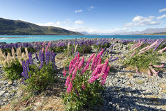 Strong wind blowing in Lake Tekapo Royalty Free Stock Images