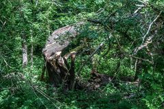 Strong wind broke the mighty tree royalty free stock photography