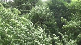 Strong wind catching green tops of the trees stock footage