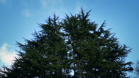 Strong Wind Moving Group Of Trees stock video footage