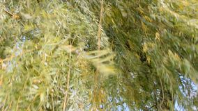 Move the leaves on a strong wind footage. Strong wind often moves leaves and large branches. A shot of the wind moving leaves and branches stock footage